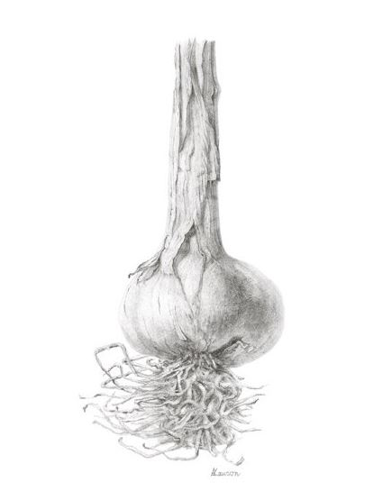 garlic by anne lawson