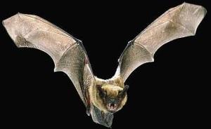 vampire bat pic