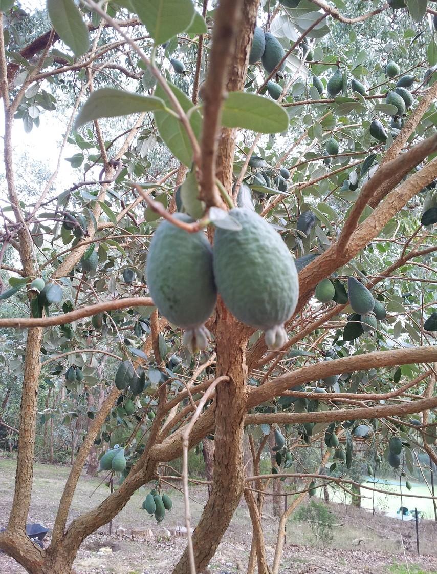 feijoua tree1