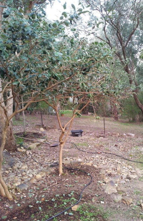 feijoua tree2