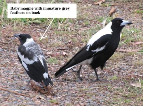 baby-magpie