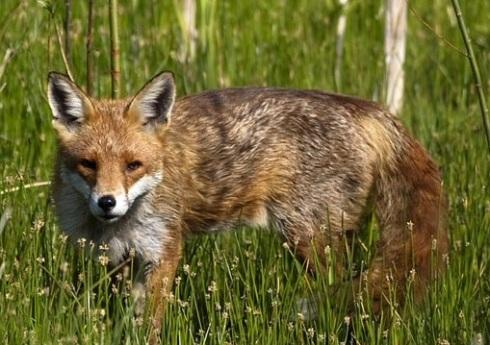 fox-brindle